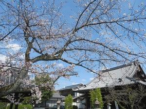 桜と元三大師堂