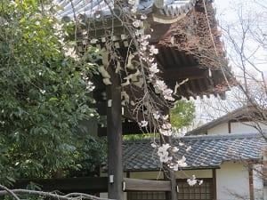 鐘楼と枝垂れ桜
