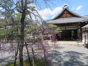 八重紅枝垂れ桜と玄関
