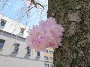 幹から咲く花
