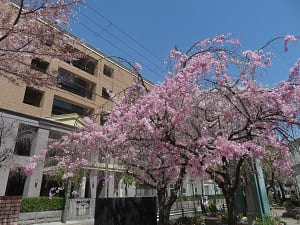 御所南小学校の八重紅枝垂れ桜