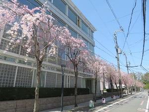 東側の八重紅枝垂れ桜