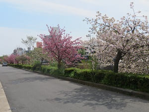 堀川通の桜
