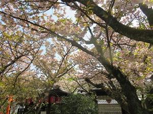 見上げる観音桜