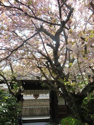 山門と観音桜