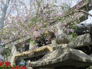 鳥居と八重紅枝垂れ桜