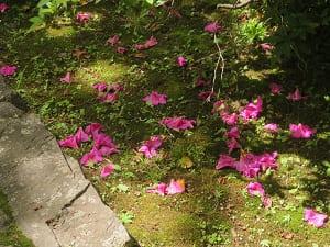 落ちたツツジの花