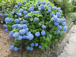 青色のアジサイ