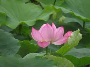 開いたハスの花