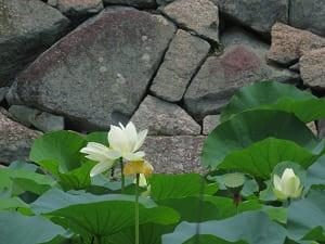 白色のハス